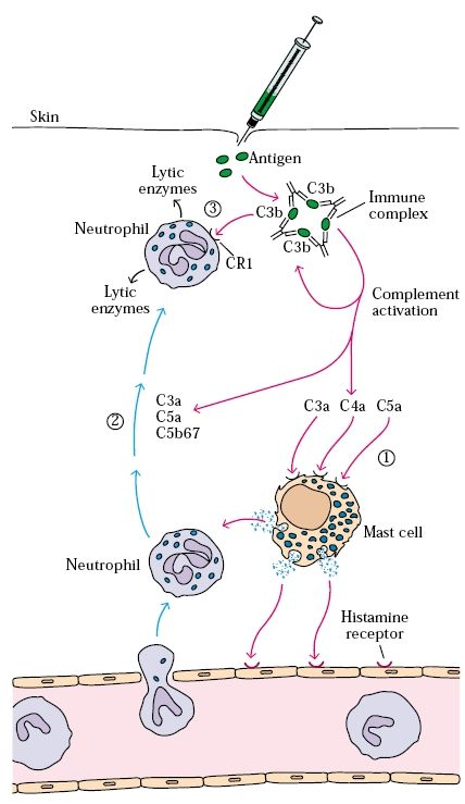 Type III hypersensitive reactions develop when immune complexes activate the complement system's array of immune effector molecules.The C3a, C4a, and C5a complement split products are anaphylatoxins that cause localized mast-cell degranulation and consequent increase in local vascular permeability. C3a, C5a, and C5b67 are also chemotactic factors for neutrophils, which can accumulate in large numbers at the site of immune-complex deposition.