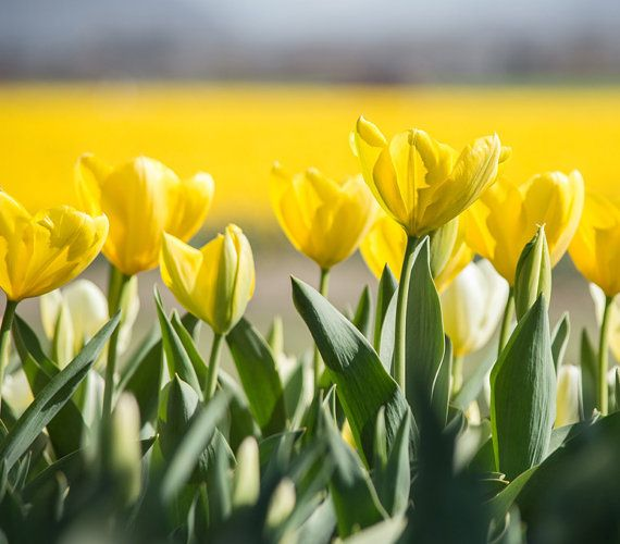 Yellow Spring Tulips, Printable Photo, High Resolution Large File, Instant Download Image, Flower Botanical Photography