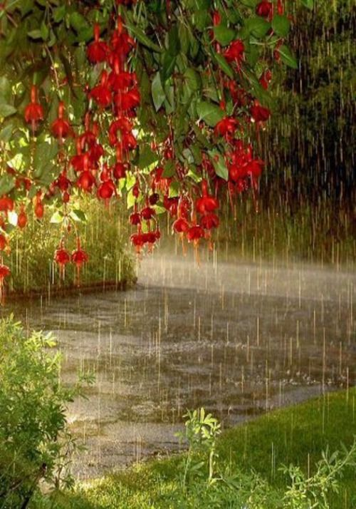 Fuscias in the rain.