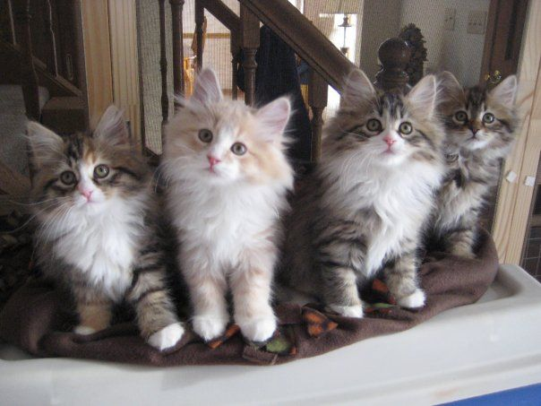 Pictures of Siberian Kittens | Adopting a Russian Siberian Kitten! We need a Name… » kittens