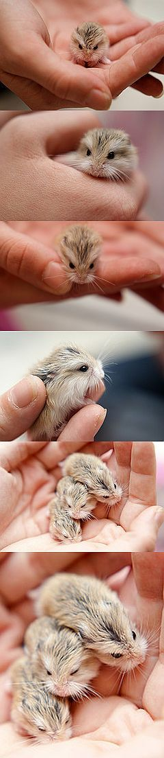 "Baby hamsters. (The first picture often gets pinned as a ""baby owl"", for some reason. Obviously, it is not.)"