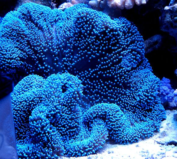 Merten's Carpet Sea Anemone (Stichodactyla...