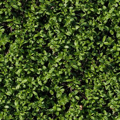 Seamless Tileable Hedge Grass Texture G Amp T In 2019