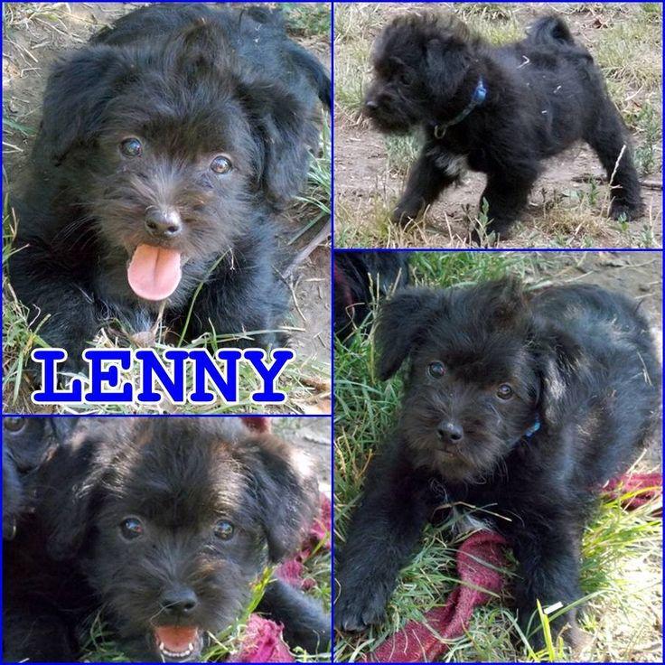 Örökbefogadható kutya - Lenny - Hajdúszoboszló