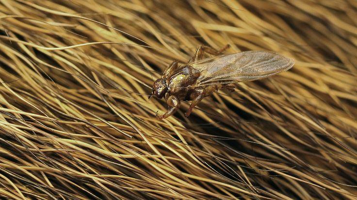 Hirvikärpänen on 5-7 mm mittainen tummanruskea täikärpänen. Pääisäntäeläin on…
