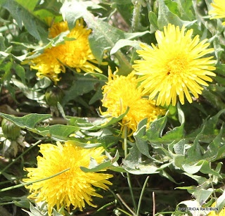 dandelion-jelly-sweet-like-honey