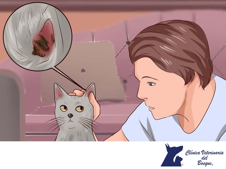 Ácaros en el oído. LA MEJOR CLÍNICA VETERINARIA DE MÉXICO. Los ácaros en el oído provocan que el revestimiento del conducto auditivo produzca cantidades excesivas de cera, que por lo general es de color marrón oscuro o negro, y a veces puede verse como suciedad en la oreja. En Clínica Veterinaria del Bosque te recomendamos traer a tu mascota si percibes este tipo de síntomas. Te invitamos a comunicarte con nosotros al teléfono 5360-3311 para conocer más sobre nuestros servicios…