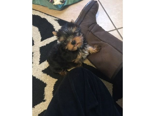 !!!Super Talented Teacup Yorkie puppies for adoption !!!
