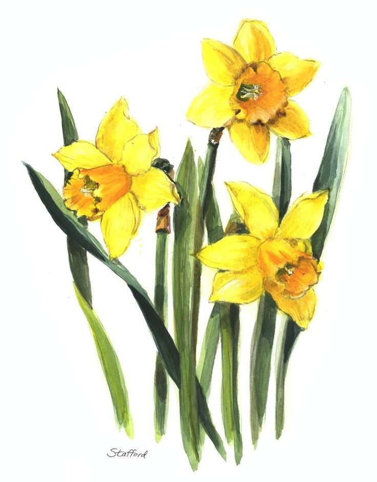 Narcissus Watercolor Tattoo images Flower drawing