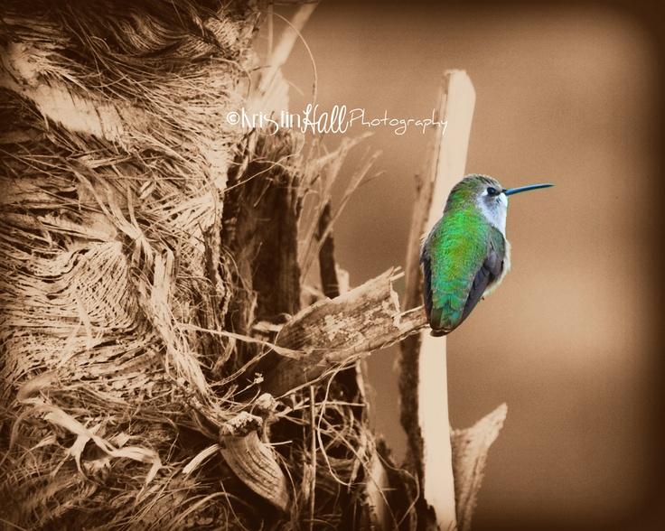 Hummingbirds by Kristin Hall Photography
