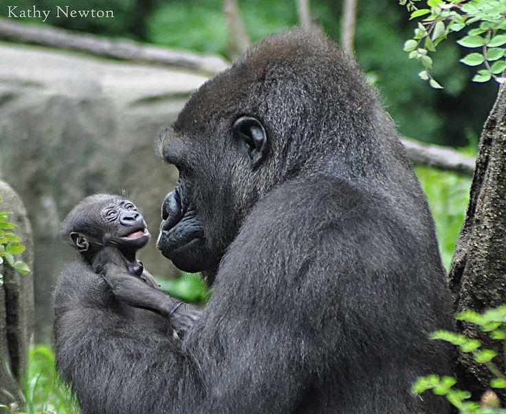 Asha with her baby Mondika - Western Lowland Gorillas @ Cincinnati Zoo & Botanical Garden