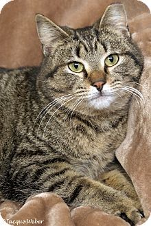 St Louis, MO - Domestic Shorthair. Meet Lafayette, a cat for adoption at Animal House Cat Rescue & Adoption Center, http://www.adoptapet.com/pet/17827313-st-louis-missouri-cat  Lafayette is a male brown tabby domestic shorthair born in 2015.