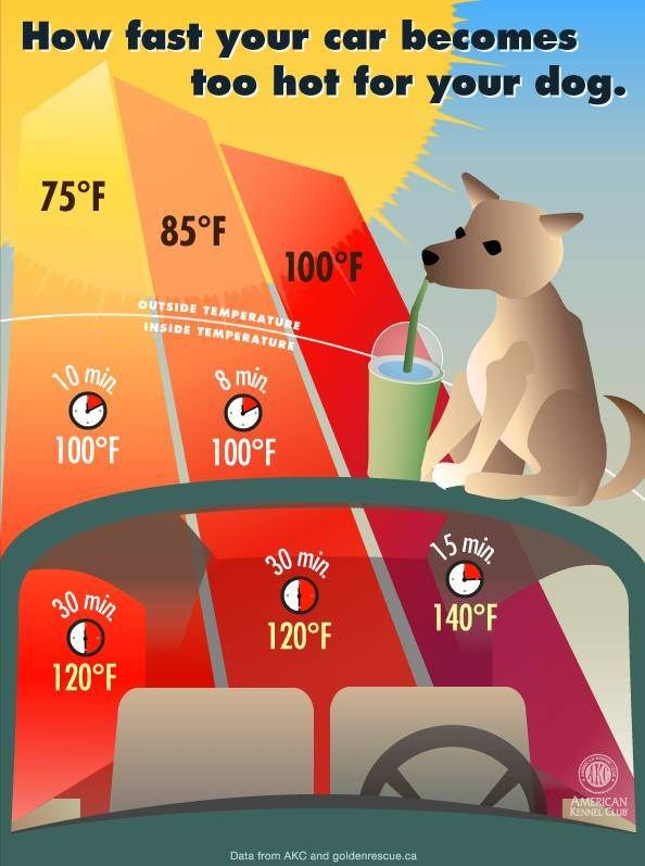 How Fast Can Your Car Become Too Hot For Your Dog?  PLEASE do not leave your pet in your car!  They are much more content staying home than dying in a hot car!