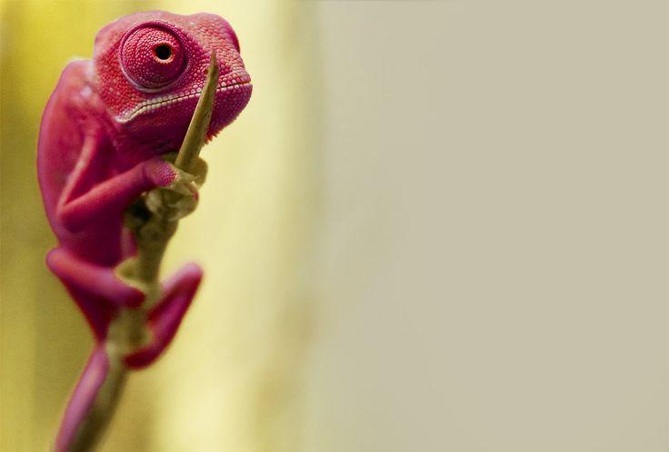 Red Baby Chemeleon -- photo by Michael Molthagen via onebigphoto.com