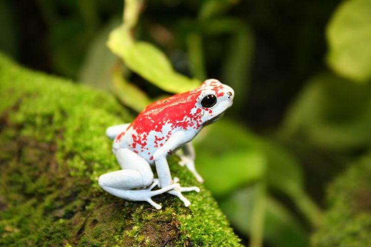 Harlequin Poison Dart Frog: Dartfrog Tk, Harlequin Poison, Fabulous Frogs, Poison Dart Frogs, Poisons, Reptile, Darts