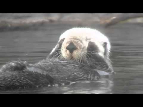 The Funny Otter waking up for a nap: Funny Otter