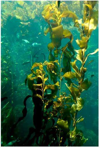 http://scienceforkids.kidipede.com/biology/plants/seaweed/pictures/kelp.jpg