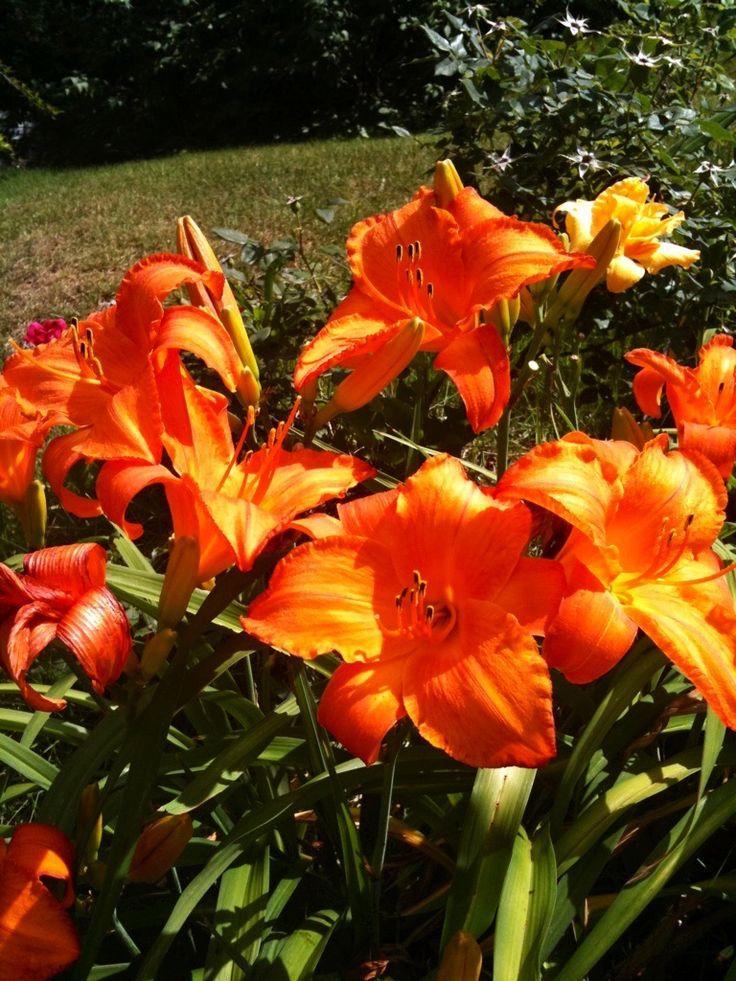 78 Best Images About Orange Flowers On Pinterest | Orange Flowers