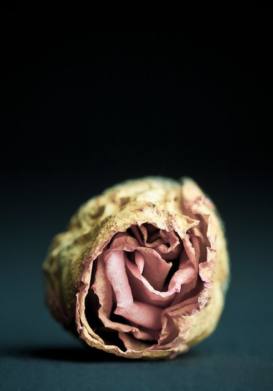 I like this image because I think it shows growth and decay. it shows growth through the use of colour, the pink in the centre of the dead rose can imply hope. However, the texture in this photograph resembles decay, through the wilted petals.