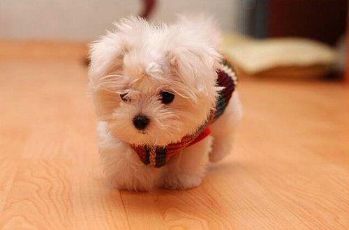 :  Maltese Terriers, Malt Terriers, Maltese Dogs, Little Puppies, Teddy Bears, Malt Dogs, Baby Animal, Malt Puppies, Cairn Terriers