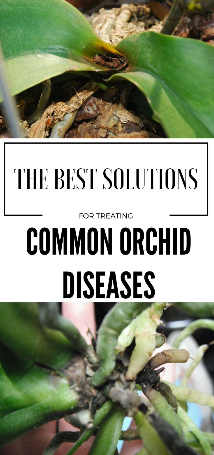 The Best Solutions For Treating Common Orchid Diseases - GardenTips.biz
