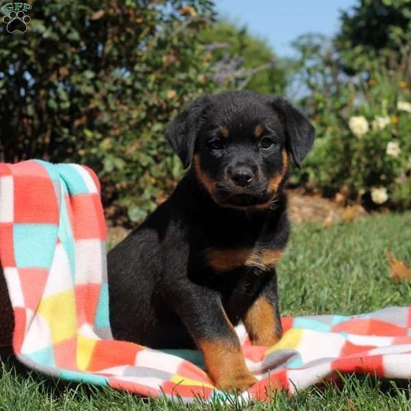 Penny Is An Upbeat Rottweiler Puppy With A Nice Stocky Build This