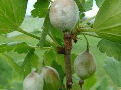 Борьба с мучнистой росой на ягодах и кустах крыжовника