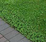 White Dutch clover is an environmentally friendly alternative to grass, which has to be cut and watered. Clover feels wonderful underfoot and can stand being hit with the mower during the transformation. It requires little to no watering. When in patches, it may look unsightly but when it is everywhere it looks lush, even in the hottest climates.  Just think how great it'd be to NOT be a slave to your lawn.
