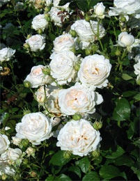 Peittoruusu Aspirin Rose
