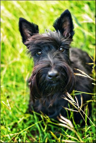 Laurie Lei the Scottish Terrier
