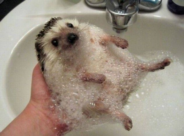: Animals, Stuff, Pet, Funny, Adorable, Things, Hedgehogs, Bath Time