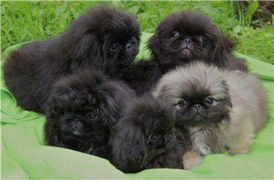 #Pekingese puppies