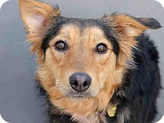 Denver, CO - Australian Shepherd/Border Collie Mix. Meet CHARLOTTE, a dog for adoption. http://www.adoptapet.com/pet/18009735-denver-colorado-australian-shepherd-mix