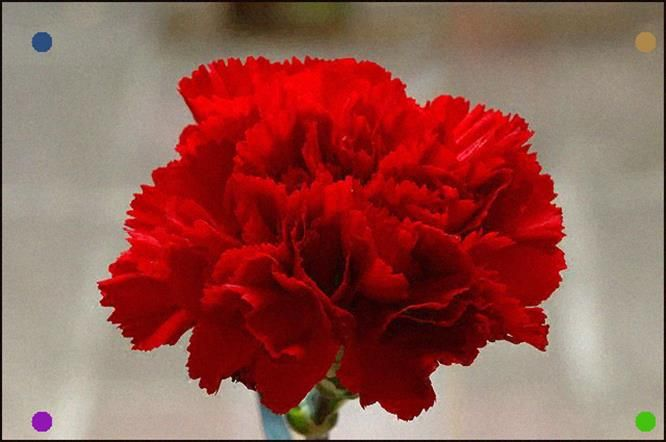 Red Carnation Blossom Of Slovenia Red Carnation Carnation Flower Carnation Flower Meaning