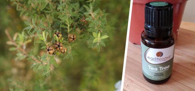 Teebaumöl: Anwendung gegen Pickel und andere Beschwerden