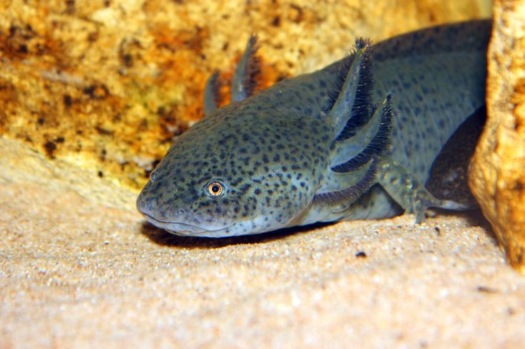 An introduction to the salamander