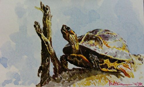 A CRITICALLY ENDANGERED ANIMAL ....BENGAL ROOF TURTLE ... WATERCOLOUR .. POSTCARD SIZE ... 2014 ... The red-crowned roofed turtle (Batagur kachuga) is  The large Batagur turtles are probably the most threatened freshwater turtles in India. Their populations have now been drastically reduced due to poaching for their meat and shells, accidental drowning in fishing gear, water pollution, hydroelectric infrastructure projects, habitat destruction by sand mining, and egg predation by jackals.