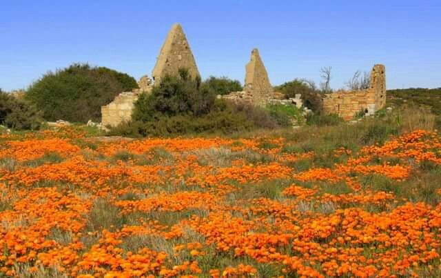 Nieuwoudtville is in the Succulent Karroo Biome, which has less than 200 mm rainfall in winter and is even more arid in summer. However the region about this community is an oasis in the Biome, with the Orange River falling off the escarpment nearby.  Nieuwoudtville is extremely popular tourist destination in South Africa especially during the wild flower season. The reasons for Nieuwoudtville popularity is because of its unique placement in the Karoo. Karoo plain is known as the Bokkeveld…