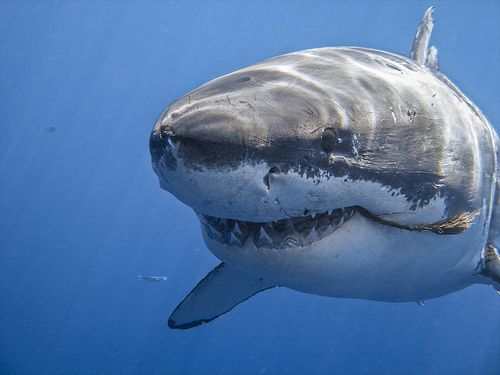 Great White Shark - This guy is smiling too much...makes me wonder.