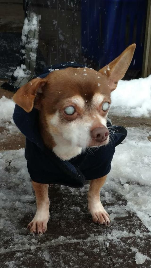 Chihuahua Dog For Adoption In Landenberg Pa Adn 810301 On
