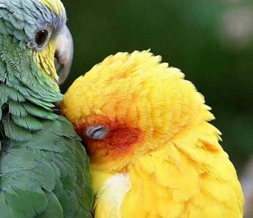 Snuggling parrots. awww.: Parrots, Green, Naps Time, Pretty Birds, Beautiful Birds, Cuddling Buddies, So Sweet, Yellow Birds, Feathers Friends