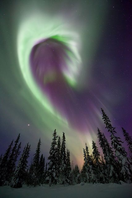 """""""Aurora Borealis, Sweden.""""   A beautiful curved band of aurora over snow covered trees in Swedish Lapland."""