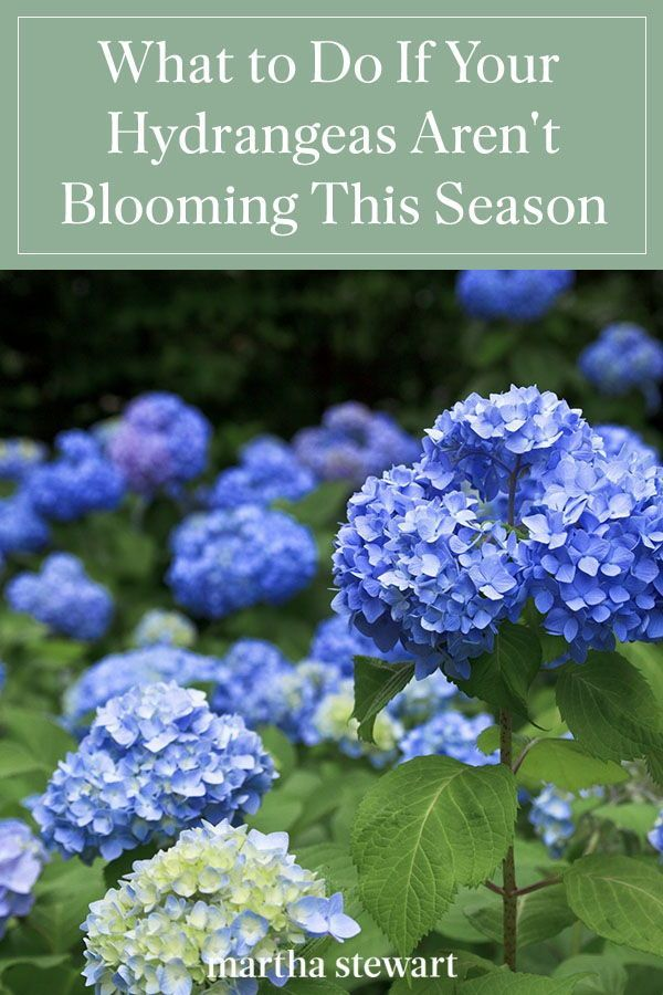 What To Do If Your Hydrangeas Aren T Blooming In 2020 Growing Hydrangeas Planting Hydrangeas Trees To Plant