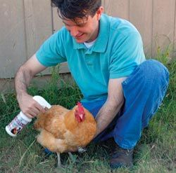 10 Most Fequently Asked Chicken Questions - Byron's friend Mike sprays Poultry Protector on a Buff Orpington. It's a non-toxic, all-natural product safe for use in the coop and directly on chickens to help clean away mites, lice, and fleas.