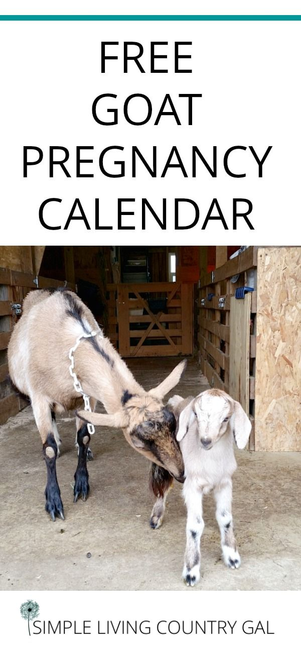 Use these natural tips to make sure your goats are in good health and able to handle the stress of breeding season. Free Gestation Calculator!     Goats | Breeding | Homestead | Dairy goats via @SLcountrygal