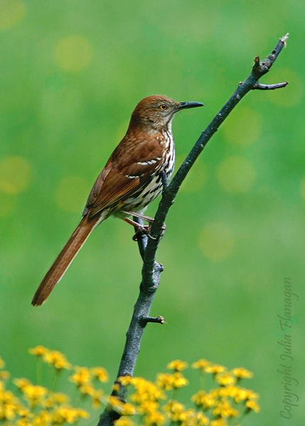 Georgia Brown Thrasher Bird