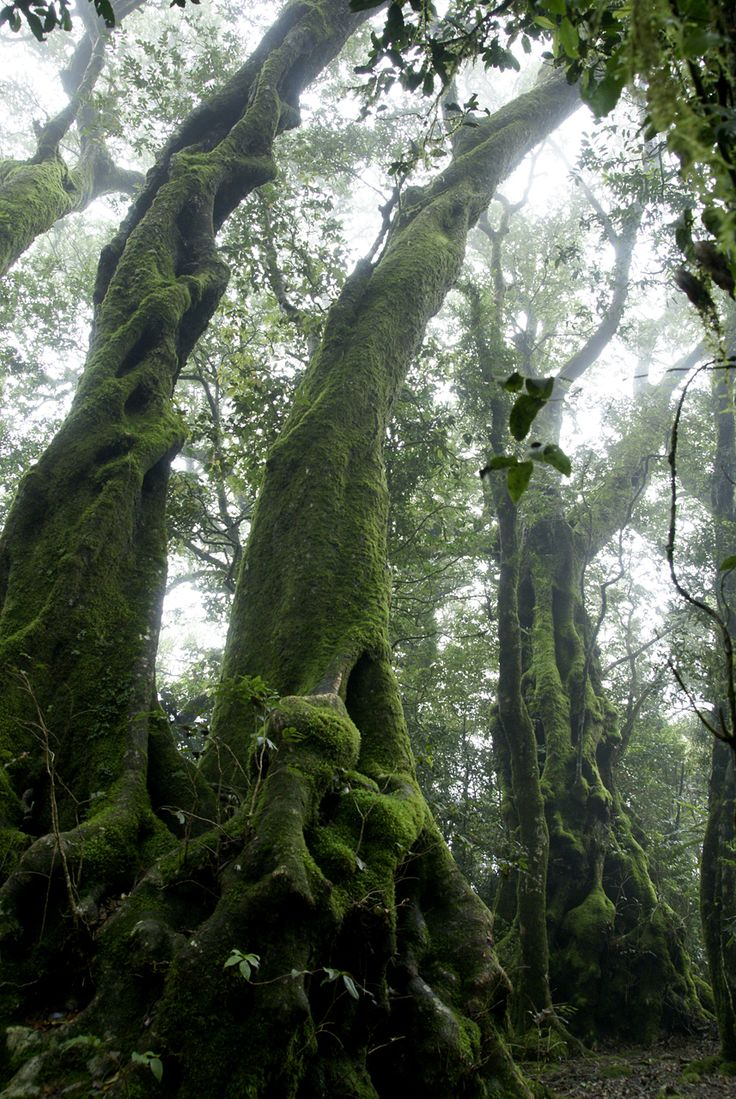 Ghostly Figures These Antarctic Beech Trees (Nothofagus moorei) cast ghostly figures in the Springbrook mist. Qld, 2008.