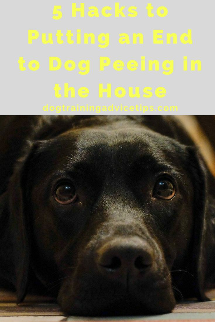 5 Tips to Putting an End to Dog Peeing in the House | Dog Training Tips | Dog Obedience Training | Housebreaking Your Dog in Apartment/House | http://www.dogtrainingadvicetips.com/putting-end-dog-peeing-house #DogObidience
