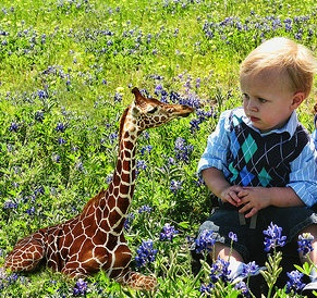 Yes Virginia There is a Miniature Giraffe