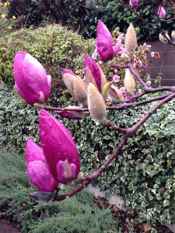 rainy day magnolias